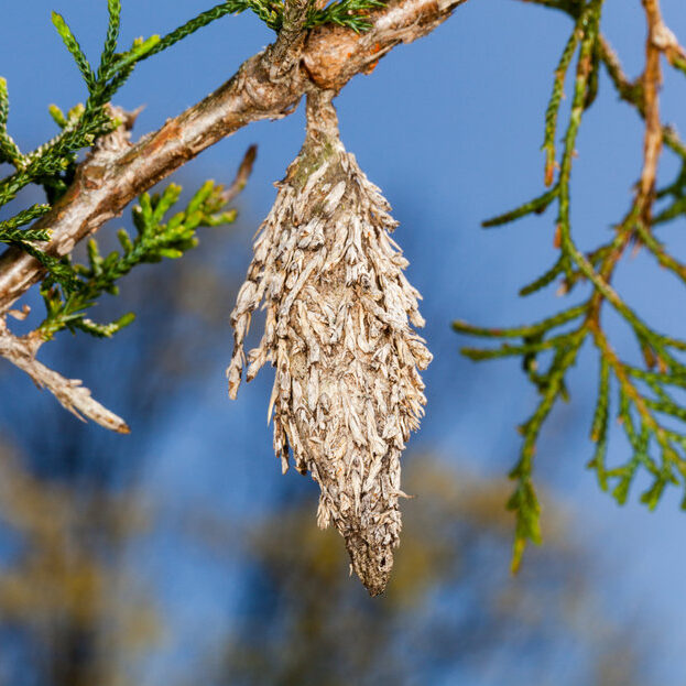 Bagworm in tree