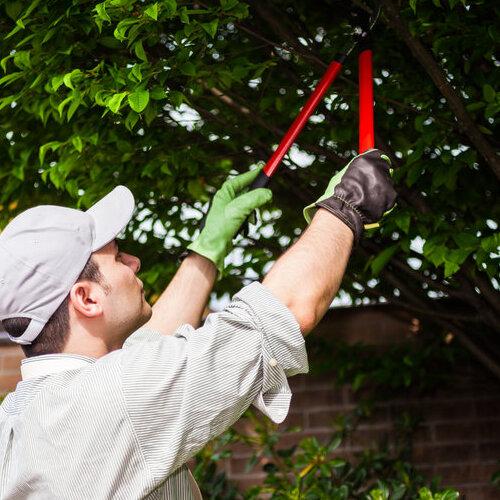 A Technician Prunes a Tree.