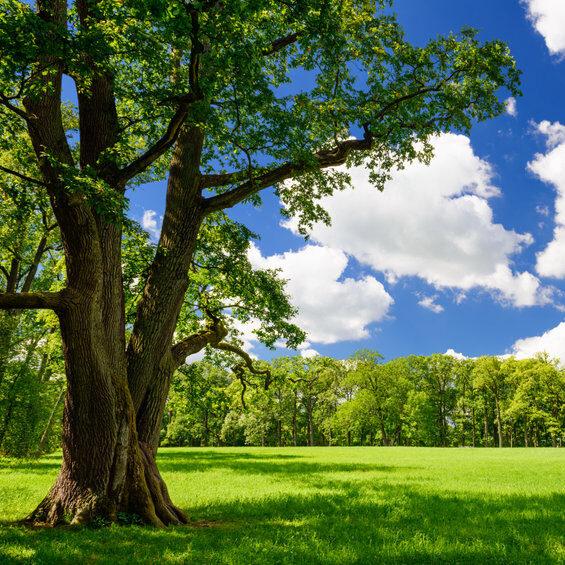 healthy oak tree in summer
