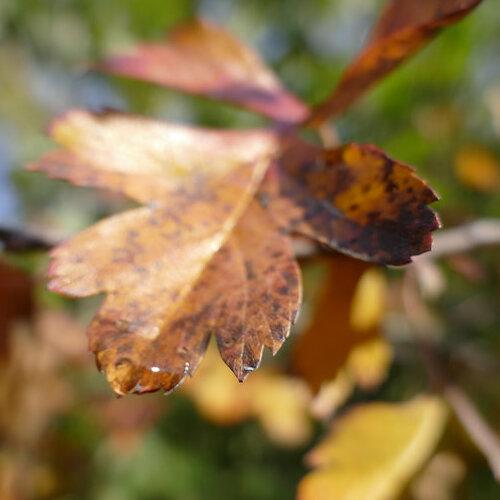 A Diseased Oak Leaf.