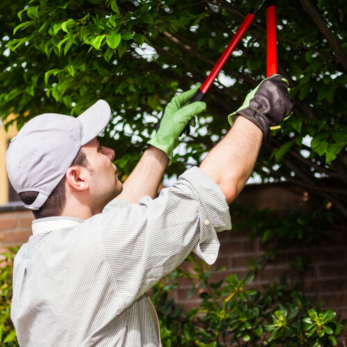 Worker pruning a tree.